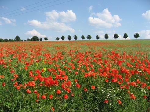 poppy_field_192538