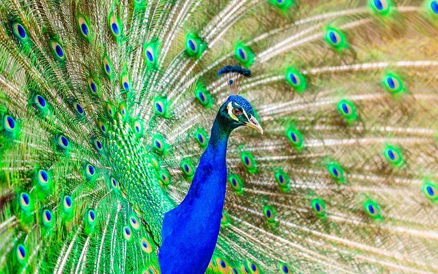 peacock-1973546_640