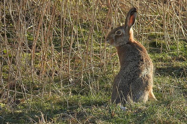 hare-3186347_640