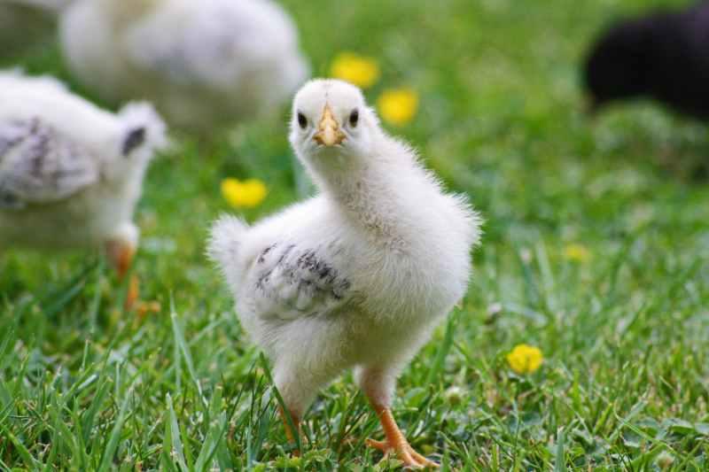 agriculture animal baby beak