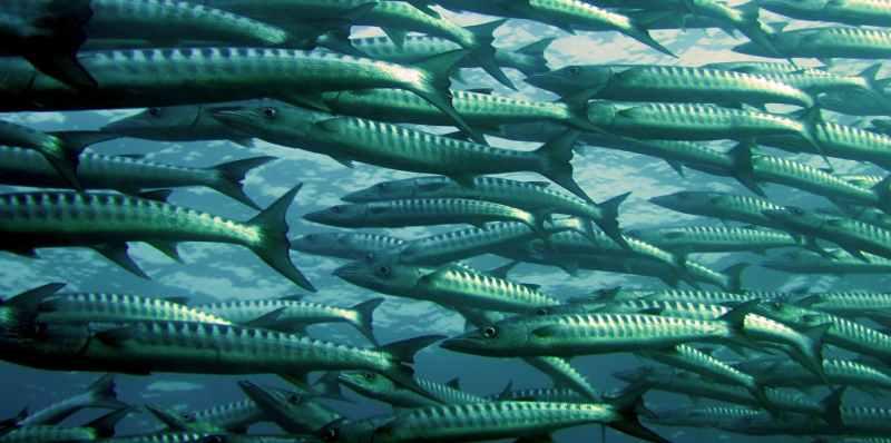 sea ocean fish barracuda